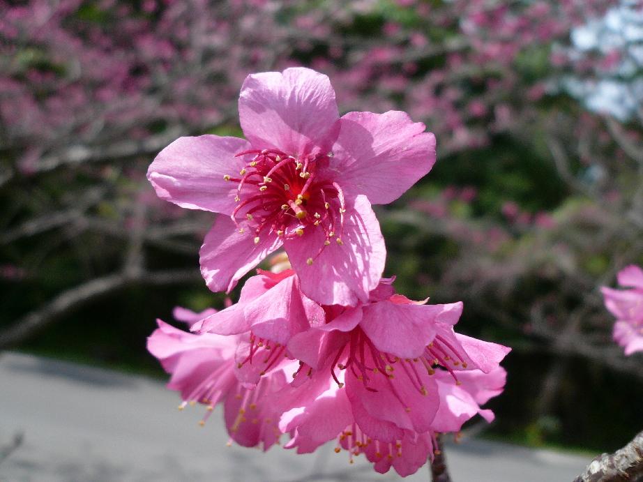 八重岳の寒緋桜