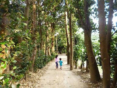 備瀬のフクギ並木でお散歩!